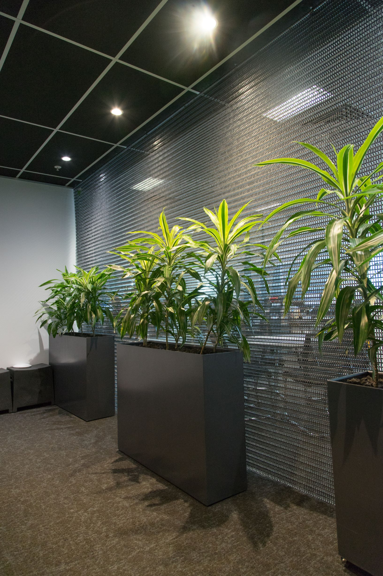 modern dracaena in plant partition