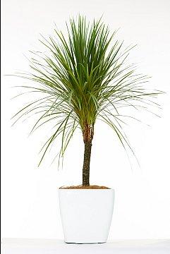 Rubber Fig Plant Nz Ficus Lutea Plantz Africa File Ficus