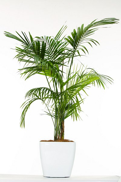 kentia palm botanical name howea forsteriana hire plants. Black Bedroom Furniture Sets. Home Design Ideas